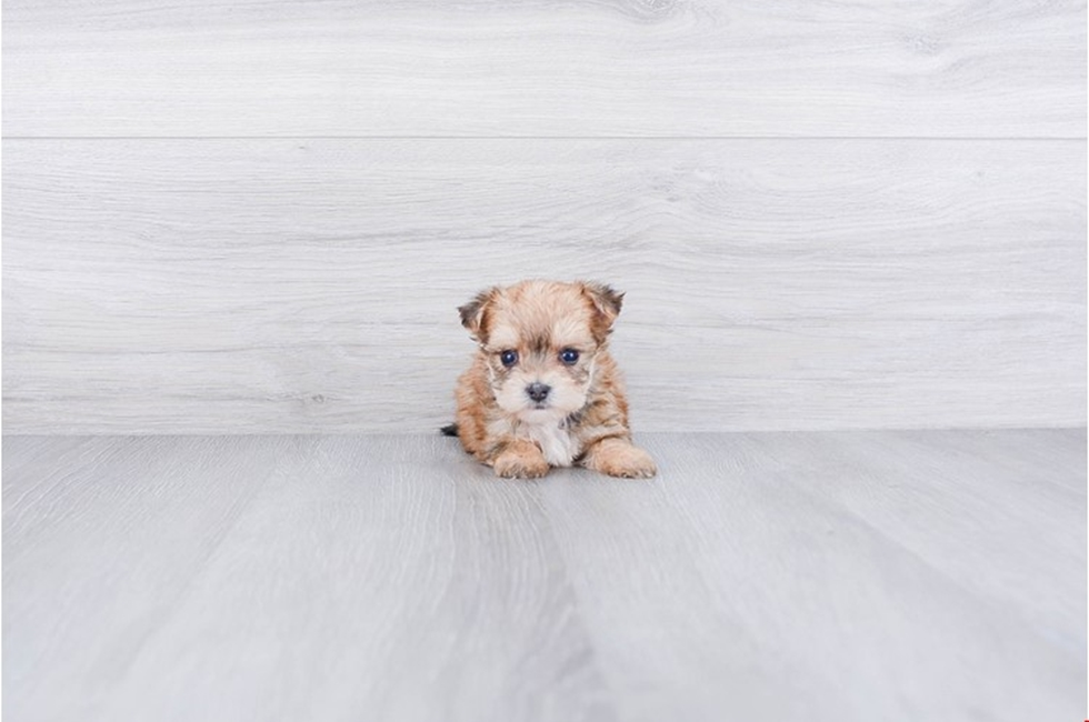 TEACUP MORKIE PUPPY - 11 week old Morkie for sale