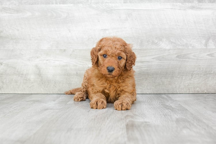 F1B MINI GOLDENDOODLE PUPPY 3