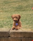 Mini Labradoodle Puppy For Sale Premier Pups