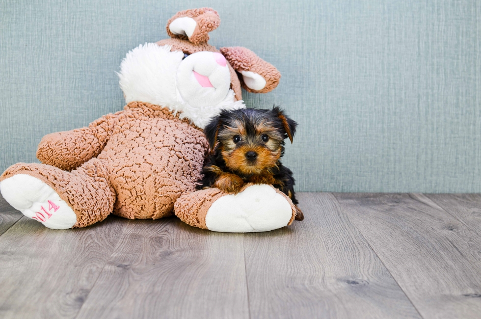 TEACUP YORKIE PUPPY - 43 week old Yorkshire Terrier