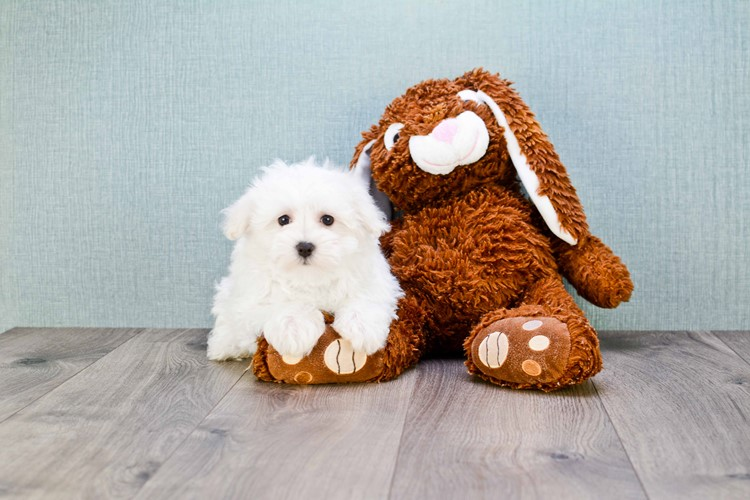 MAX Maltese Puppies For Sale | On-the-spot Adoption In Ohio | US Shipping  Puppy