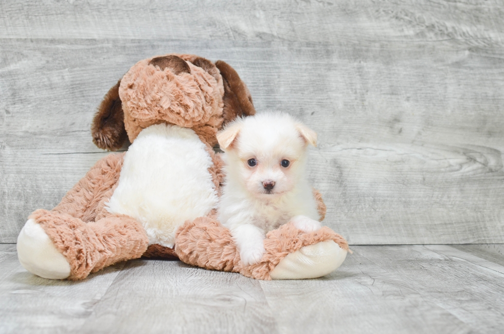 TEACUP MALTI POM PUPPY - 6 week old Malti Pom for sale