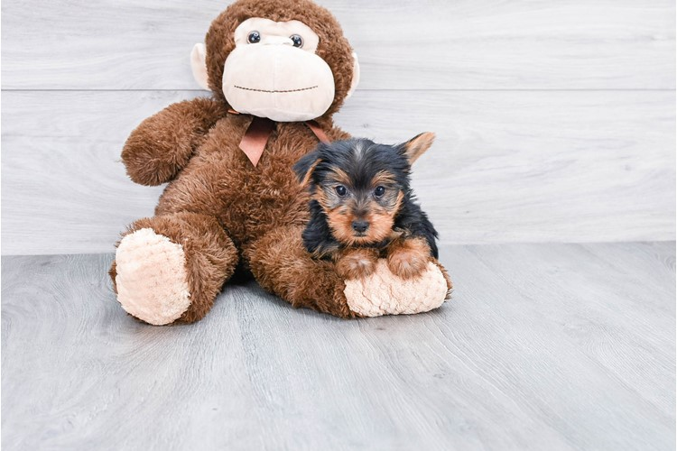 YORKSHIRE TERRIER PUPPY 1