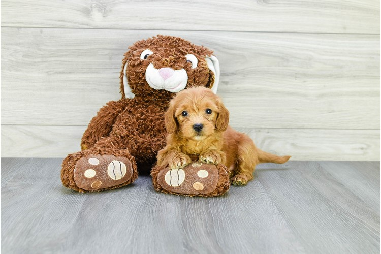 F1B TOY GOLDENDOODLE PUPPY 1