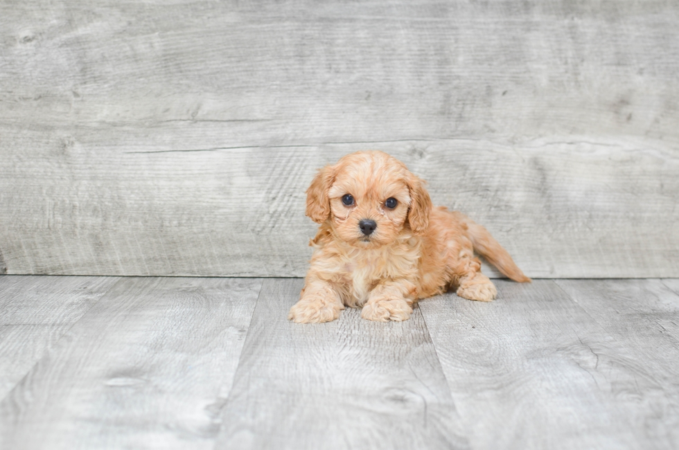 CAVA POO PUPPY - 6 week old Cava Poo for sale