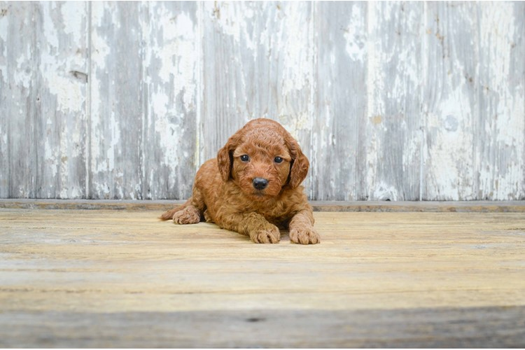 MINI GOLDENDOODLE PUPPY 3