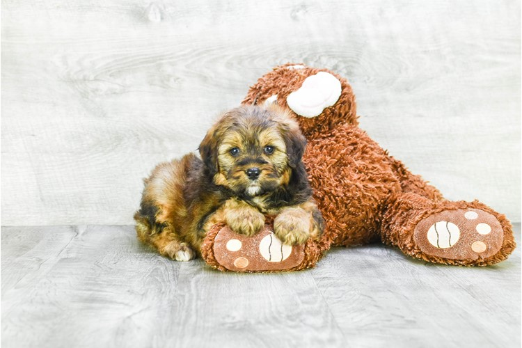 F1 MINI BERNEDOODLE PUPPY 4