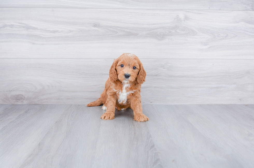 F1B PETITE GOLDENDOODLE PUPPY - 8 week old Mini Goldendoodle for sale