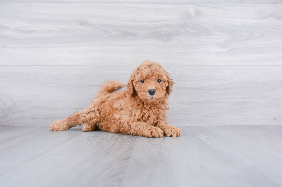 Mini Goldendoodle Puppies For Sale Online Comfortable Us
