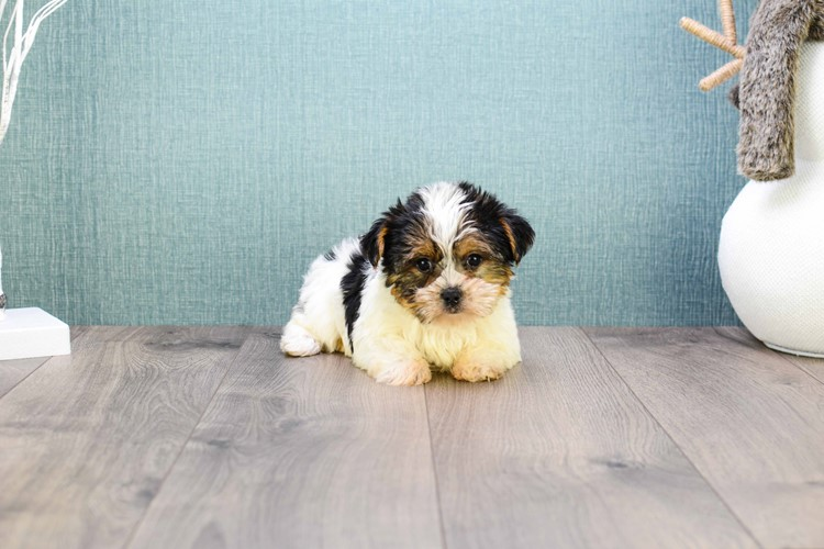 Teacup Beyonce Is Our Parti Yorkie Puppy For Sale