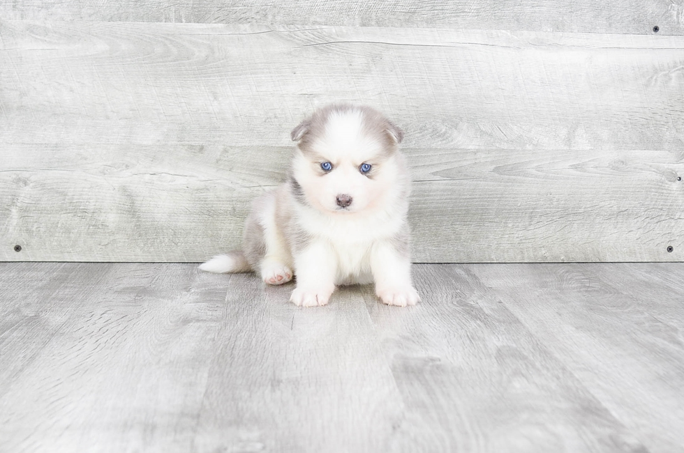 F2 POMSKY PUPPY - 6 week old Pomsky for sale