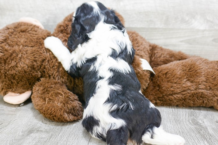 CAVALIER KING CHARLES SPANIEL PUPPY 4