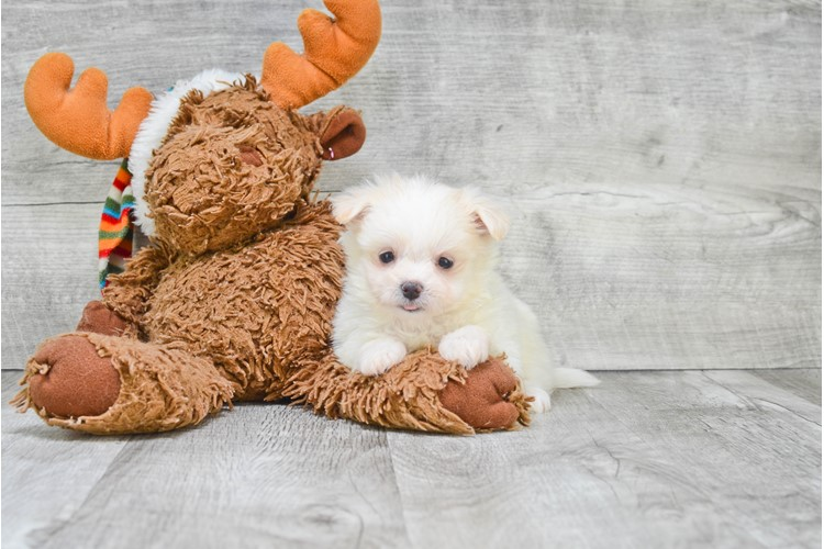 Maltipom Puppy For Sale Premier Pups
