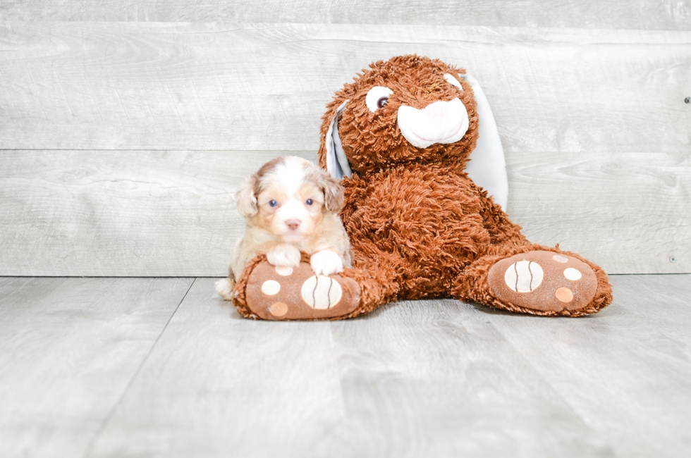 MINI AUSSIEDOODLE PUPPY - 7 week old Mini Aussies for sale