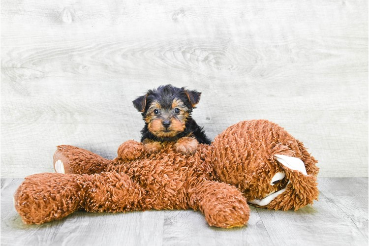 Yorkshire Terrier Puppy For Sale Premier Pups