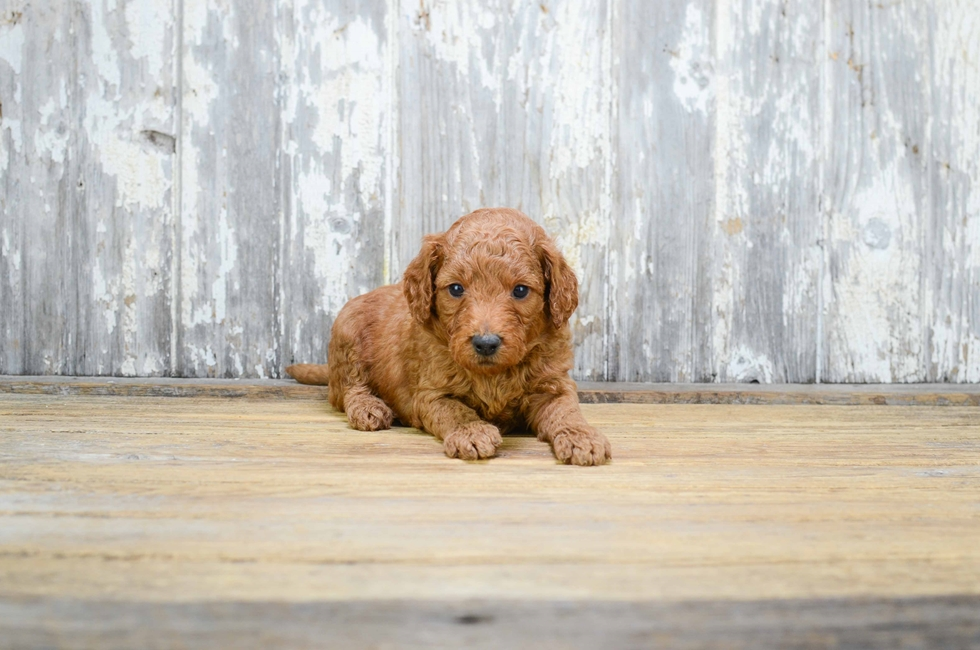 MINI GOLDENDOODLE PUPPY - 15 week old Mini Goldendoodle