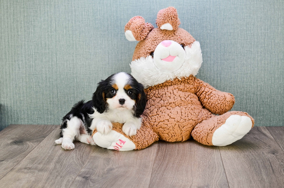 CAVALIER KING CHARLES PUPPY - 61 week old Cavalier King Charles Spaniel