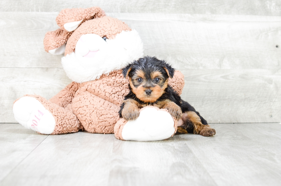 YORKSHIRE TERRIER PUPPY - 7 week old Yorkshire Terrier for sale