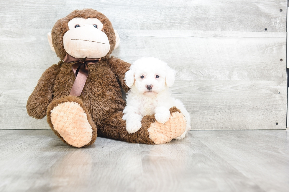POO CHON PUPPY - 9 week old Malti Poo for sale