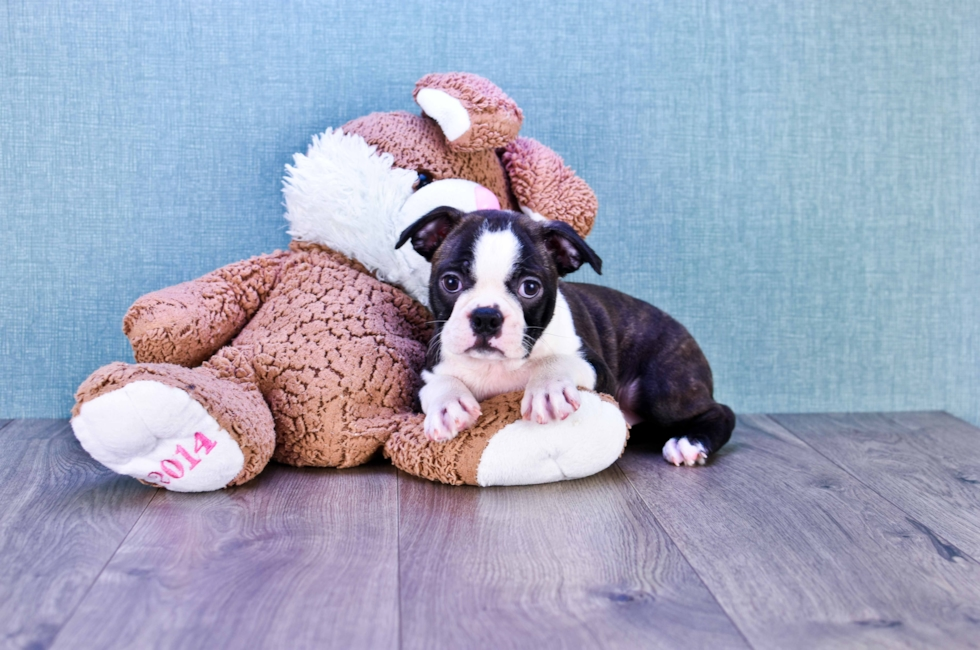 BOSTON TERRIER PUPPY - 9 week old Boston Terrier for sale