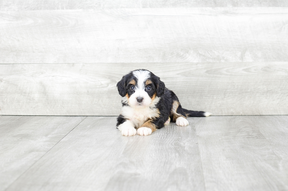 F1 MINI BERNEDOODLE PUPPY - 5 week old Mini Bernedoodle for sale
