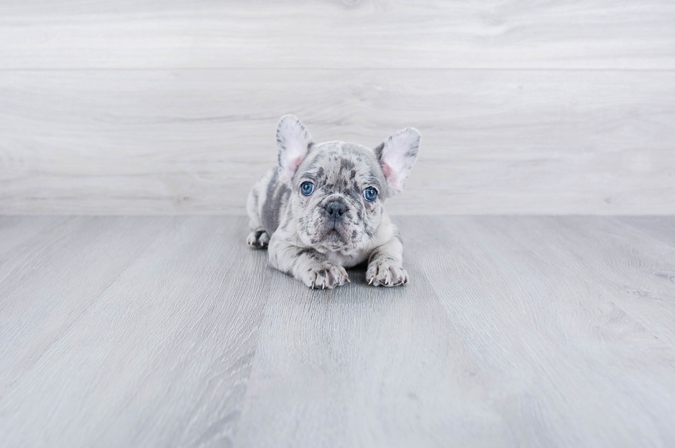 FRENCH BULLDOG PUPPY - 7 week old French Bulldog for sale