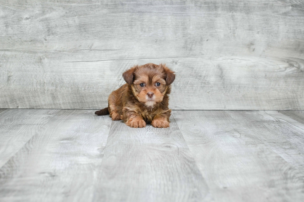 SHORKIE PUPPY - 6 week old Shorkie for sale