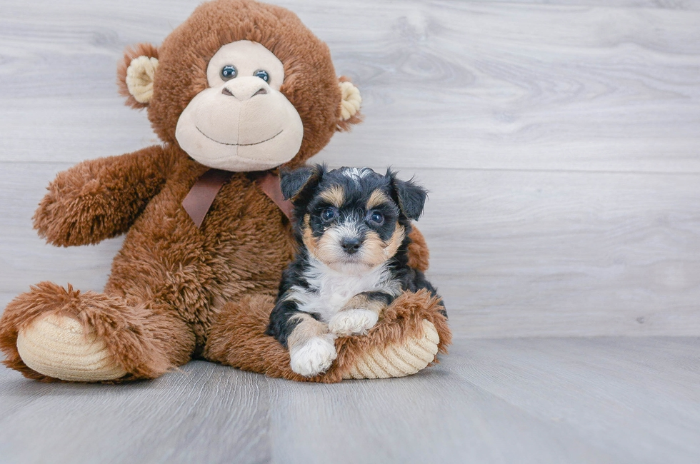 8 week old Aussiechon Puppy For Sale Premier Pups