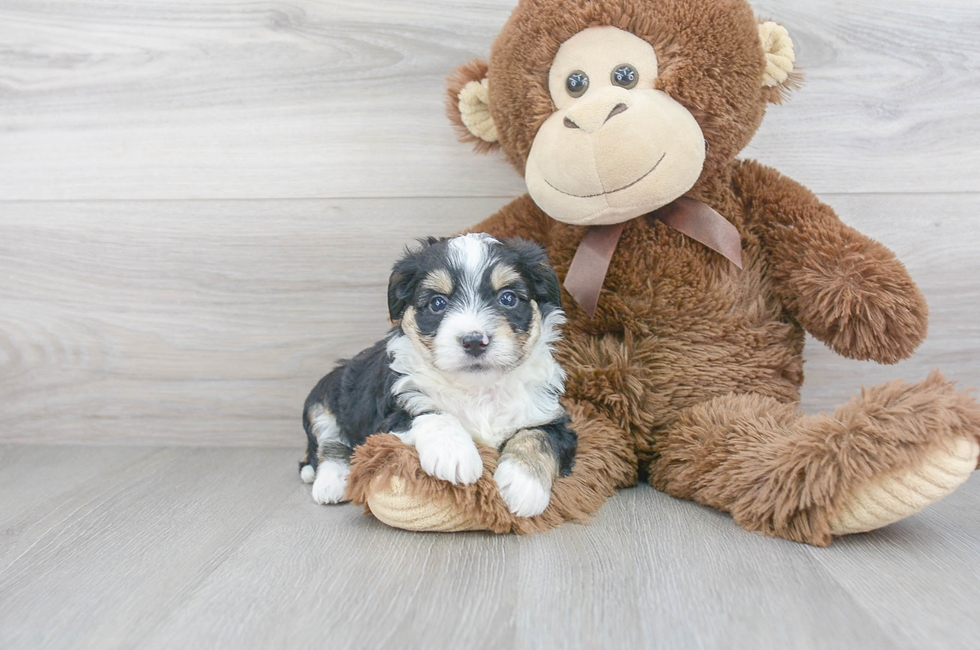 6 week old Aussiechon Puppy For Sale Premier Pups