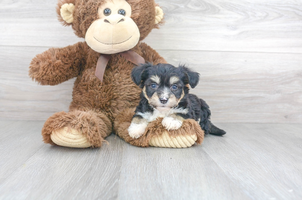 7 week old Aussiechon Puppy For Sale Premier Pups
