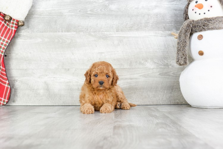 F1B Mini Goldendoodle PUPPY 1
