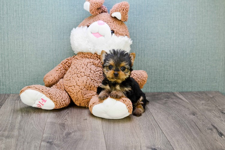 TEACUP YORKIE PUPPY 1