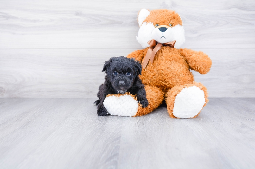 MINI AUSSIEDOODLE PUPPY - 6 week old Mini Aussiedoodle for sale