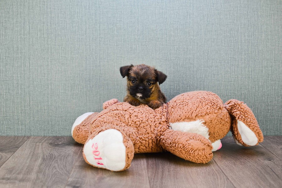BRUSSELS GRIFFON PUPPY!!!! 2