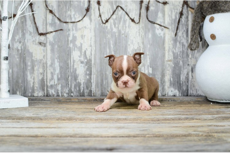 Bo Is Our Boston Terrier Puppy For Sale
