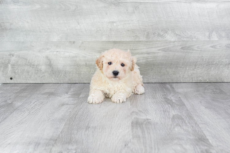Maltipoo Puppy For Sale Premier Pups