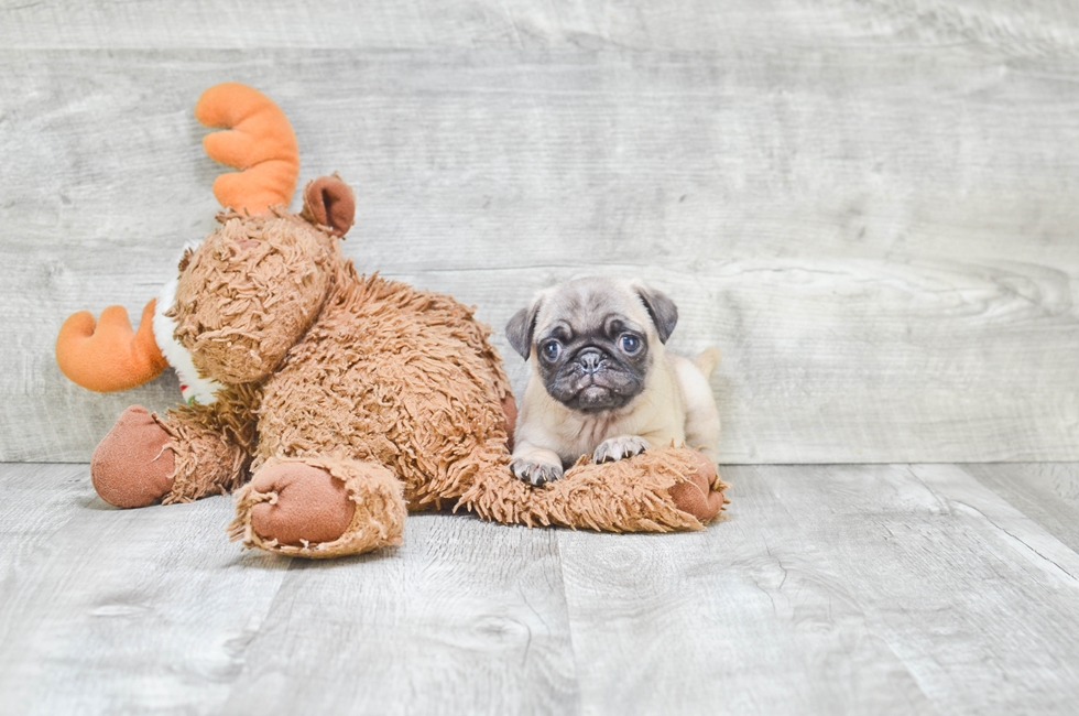 PUG PUPPY - 7 week old Pug for sale