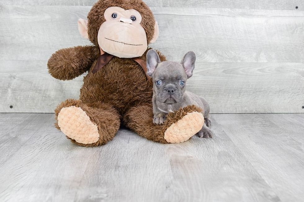 FRENCH BULLDOG PUPPY - 11 week old French Bulldog for sale