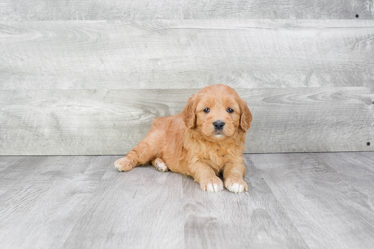 F1 MINI GOLDENDOODLE PUPPY 4