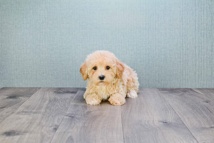 TEACUP CAVAPOO PUPPY