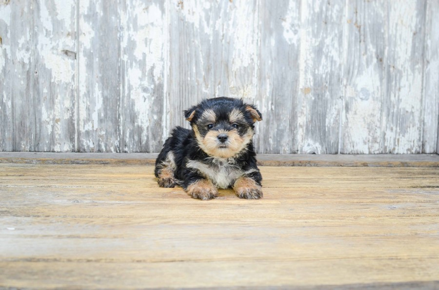 TEACUP MORKIE PUPPY 3