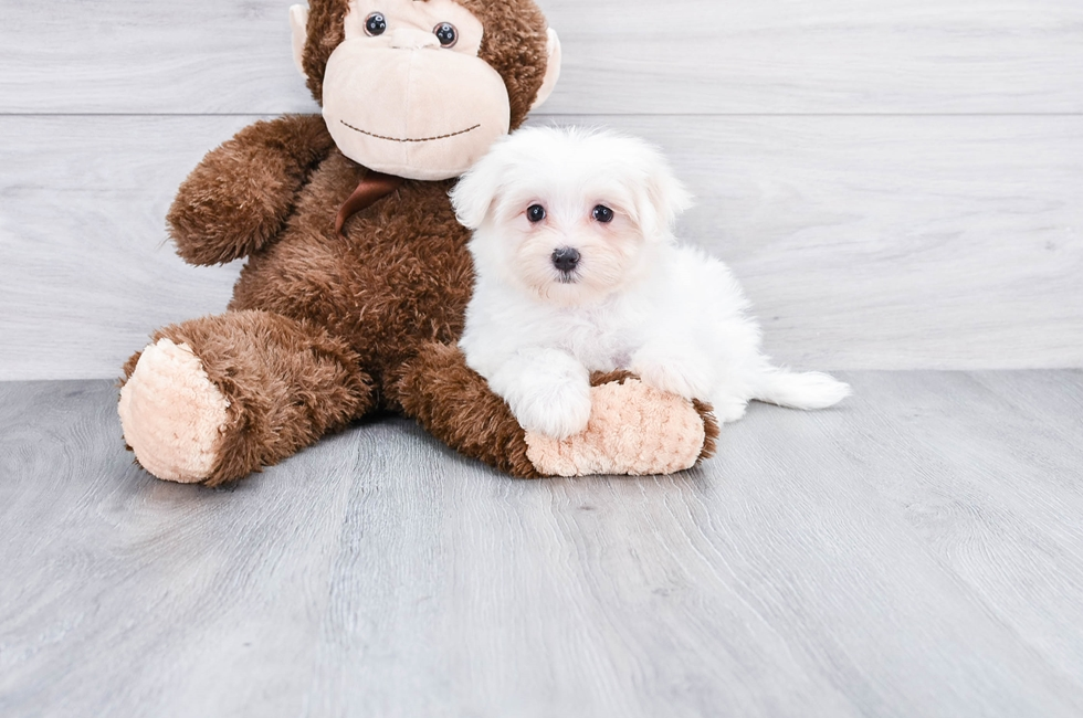 Maltese Puppies for Sale – Toy Purebred Maltese Puppies