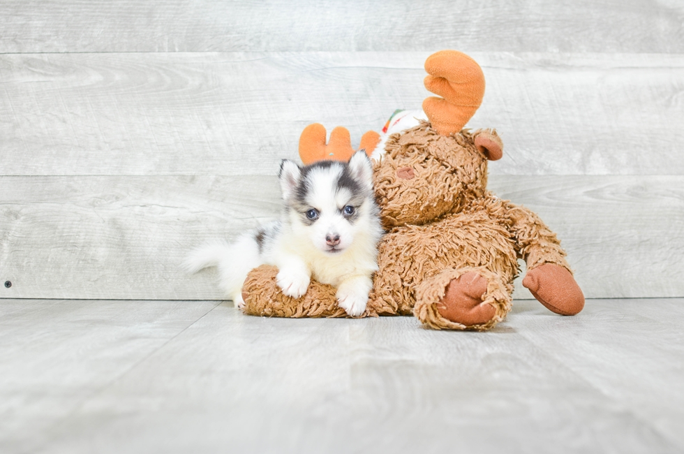 Pomsky puppies for sale | Small cross puppies breeds for ...