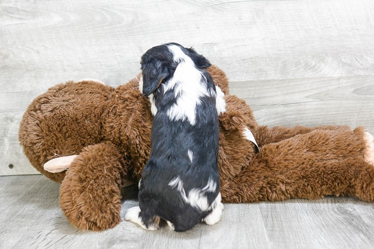 CAVALIER KING CHARLES SPANIEL PUPPY 5