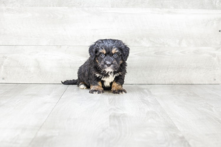 MINI BERNEDOODLE PUPPY 2