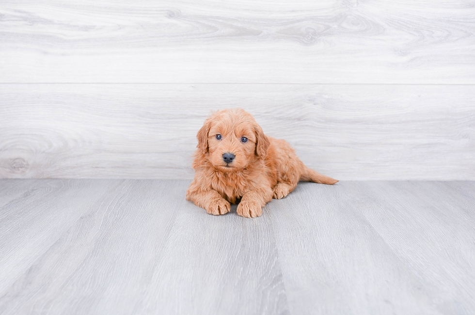 Mini Goldendoodle Puppies for Sale - US Shipping | Premierpups