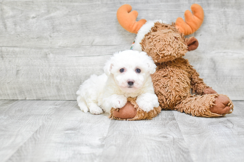 BICHON FRISE PUPPY - 7 week old Bichon Frise for sale