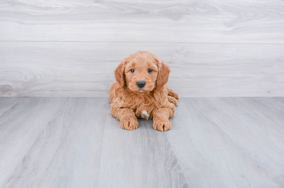 F1 MINI GOLDENDOODLE PUPPY - 7 week old Mini Goldendoodle for sale
