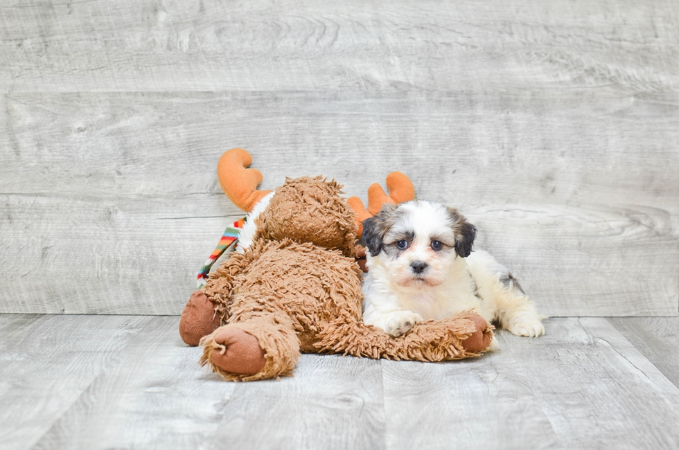 TEDDY BEAR PUPPY - 9 week old Teddy Bear for sale