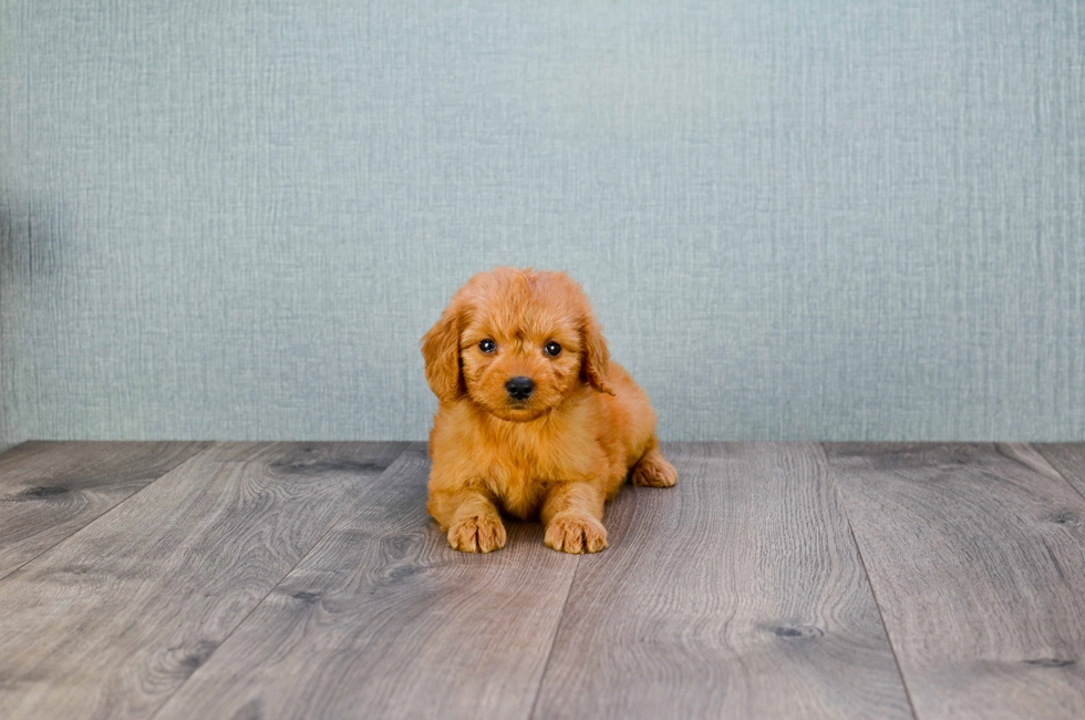 MINI GOLDENDOODLE PUPPY - 8 week old Mini Goldendoodle
